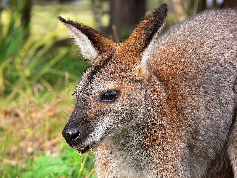 Benvenuti Wallaby