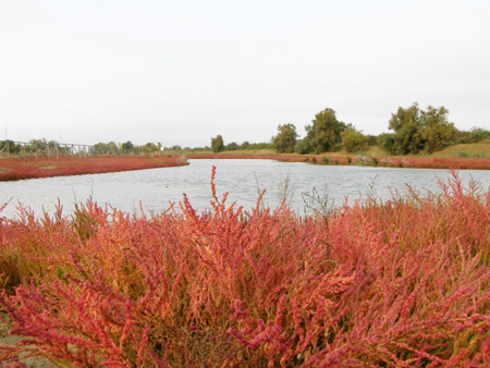 Salicornia veneta