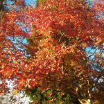 albero con foglie rosse in autunno