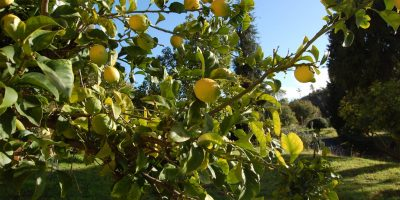parco con pianta limoni