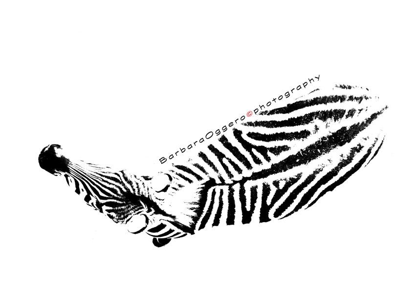 zoom-zebra-bianco-nero-OK